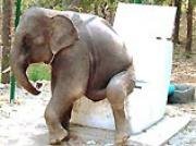 В Таиланде слонов научили справлять нужду в гигантские унитазы