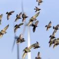 Окраска одной лопасти ветряка в черный цвет снижает смертность птиц на 72%